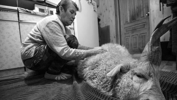 Латифа Иксанова вычесывает пух с оренбургской козы в поселке Татарский Саракташ Оренбургской области