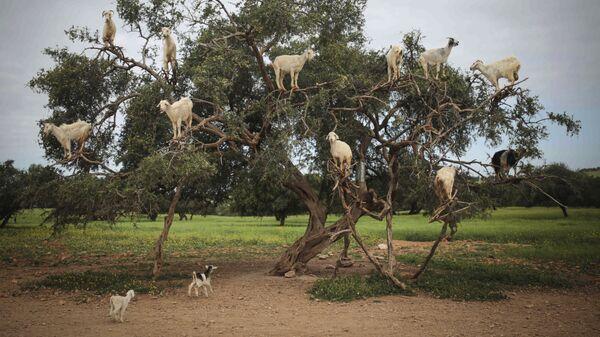 Козы на дереве аргания в Эс-Сувейре, Марокко