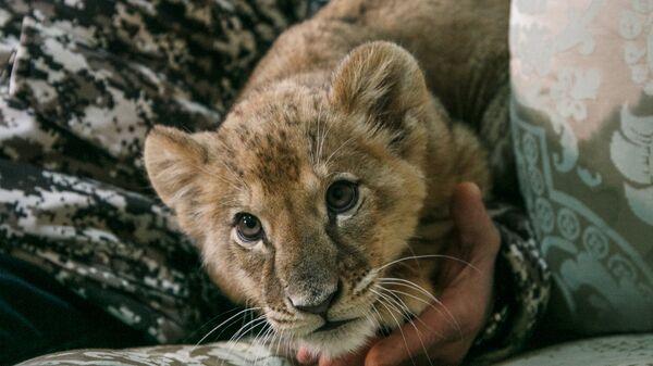 Маленькая львица найденная в Москве
