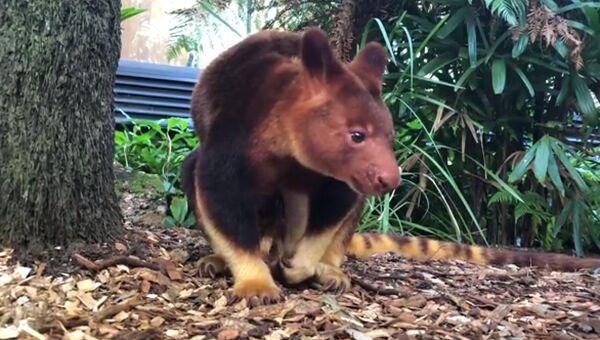 Кенгуру в зоопарке Taronga Zoo, Сидней