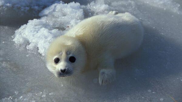 Щенок каспийского тюленя