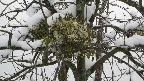 Омелы оказались уникальным растением, не способным дышать
