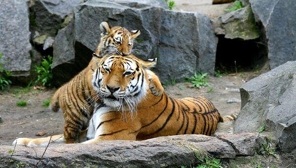 Амурская тигрица с детенышем