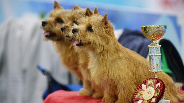 Собаки породы норвич-терьер