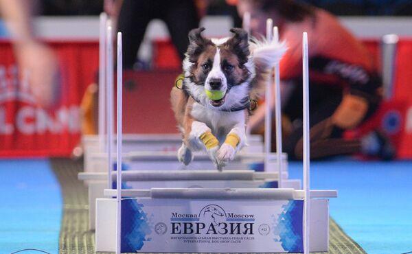На Интернациональной выставке собак Евразия-2018 в МВЦ Крокус Экспо в Москве