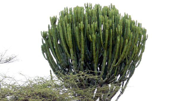 Растение молочай канделябровый. Архивное фото