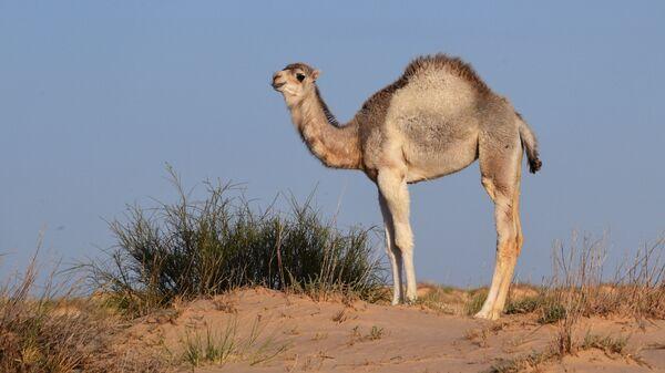 Верблюд-дромадер в окрестностях Атласских гор на территории Туниса