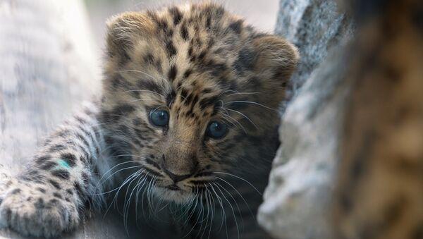 Детеныш дальневосточного леопарда. Архивное фото