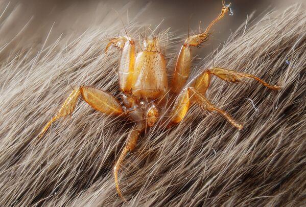 Кровососущий паразит Nycteribiidae на теле мыши