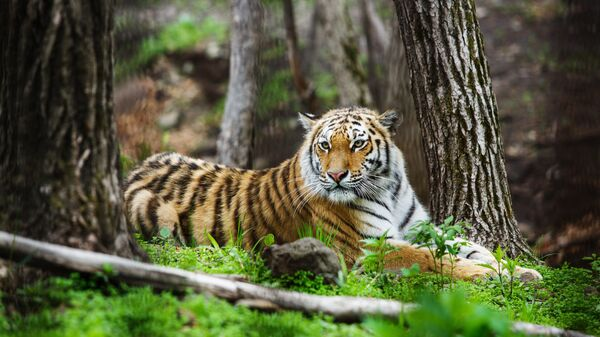 Никуда без тигра
