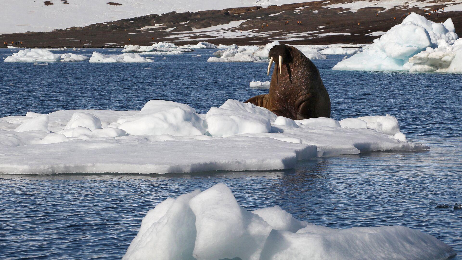 Морж на льдине у берегов одного из островов архипелага Земля Франца-Иосифа - РИА Новости, 1920, 24.11.2020