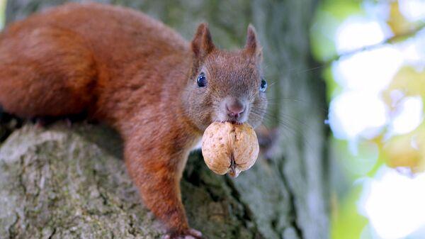 Белка ест орех. Архивное фото