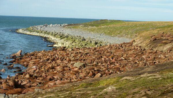 Моржи на лежбище Чукотского полуострова. Архивное фото
