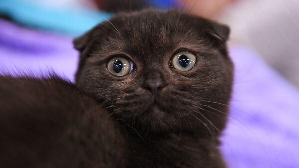 Кошка породы скоттиш-фолд на международной выставке Жемчужное шоу кошек