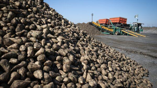 Приёмка и хранение свеклы на сахарном заводе Свобода в Краснодарском крае