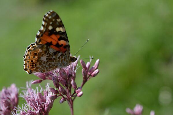 Бабочка на цветнике
