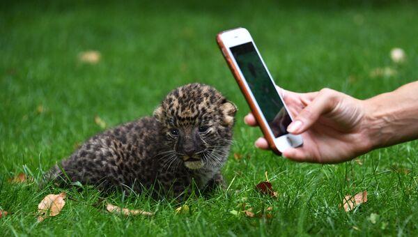 Котенок леопарда в крымском сафари-парке Тайган