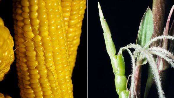 Кукуруза и ее предок теосинте