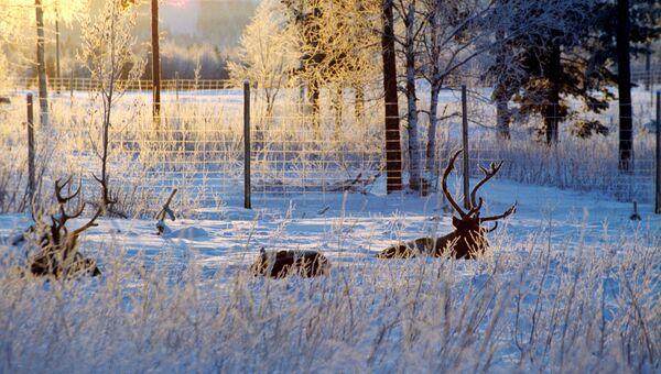 Олени в Лапландии. Архивное фото