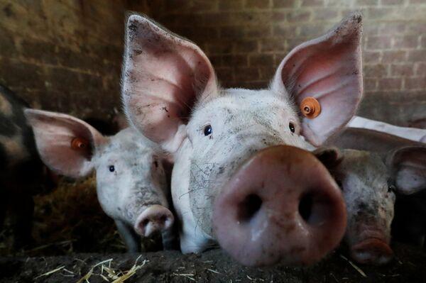 Свиньи на ферме недалеко от Брюсселя
