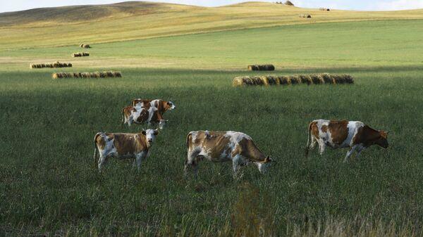 Коровы пасутся на поле у дороги