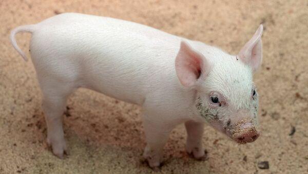 Один из шестерых поросят, родившихся у свиньи Розы, которая забеременела после операции по лечению бесплодия с помощью уникального российского робота-хирурга, на послеоперационной площадке Пензенского ГАУ