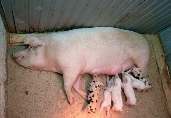 Свинка Роза из Пензы, которая забеременела после операции по лечению бесплодия с помощью уникального российского робота-хирурга, с поросятами на послеоперационной площадке Пензенского ГАУ