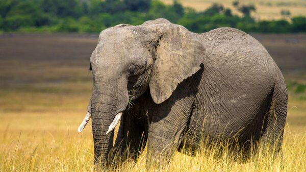 Слон в национальном заповеднике Масаи-Мара в Кении