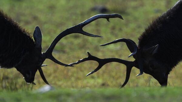 Пятнистые олени