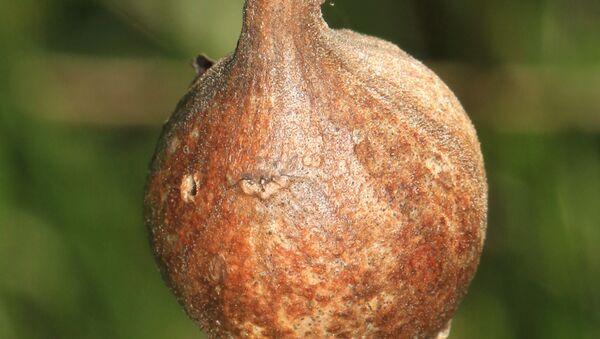 Галл, в котором развивается личинка мухи-пестрокрыли