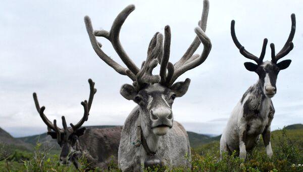 Дикие северные олени Камчатки находятся под угрозой исчезновения