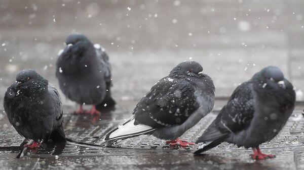 Голуби во время снегопада в Москве