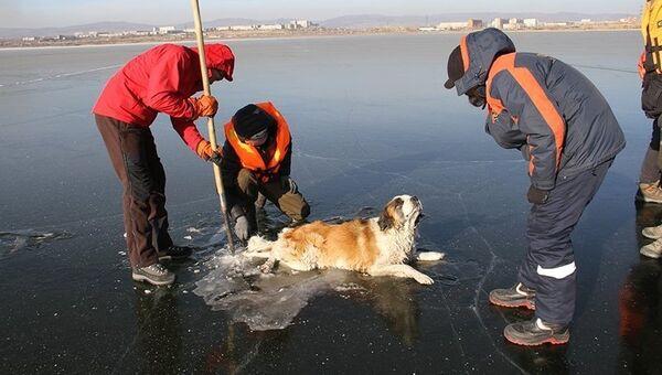Сотрудники поисково-спасательной службы Забайкалпожспаса вытащили из озера Кенон в Чите собаку, вмёрзшую в лёд