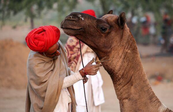 Пастух стрижет шерсть верблюду на Ярмарке верблюдов в Пушкаре, Индия