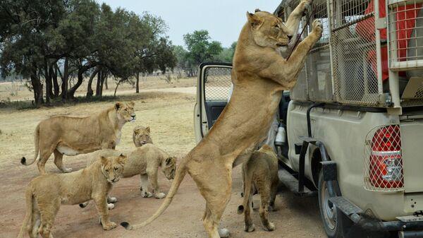 Львица с детенышами у машины с туристами в Львином сафари-парке возле города Претория, ЮАР