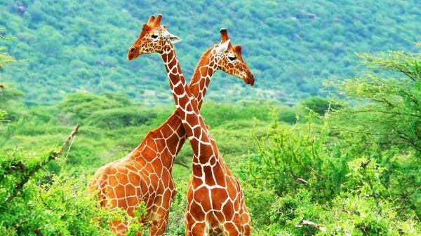 Жирафы в Национальном заповедник Самбуру, Кения