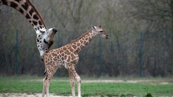 Новорожденный жираф с матерью в берлинском зоопарке
