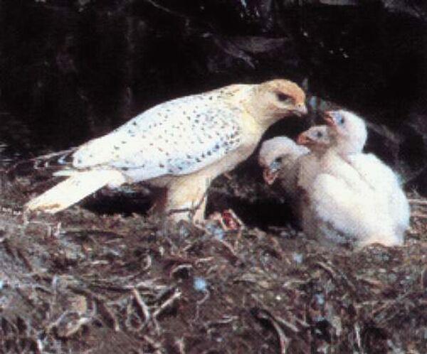 Семейство Соколиные - Кречет