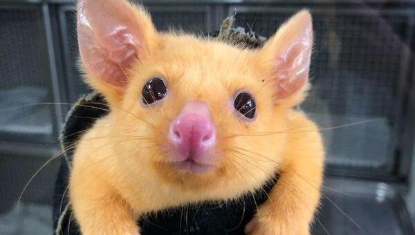 Животное вида Лисий кузу, попавшее к ветеринарам клиники Boronia Veterinary Clinic And Animal Hospital в Мельбурне, Австралия