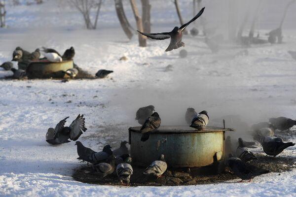 Голуби греются на коммунальных люках теплосетей в Новосибирске