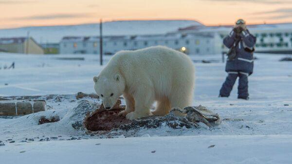 Белый медвежонок-сирота в окрестностях села Рыркайпий на Чукотке