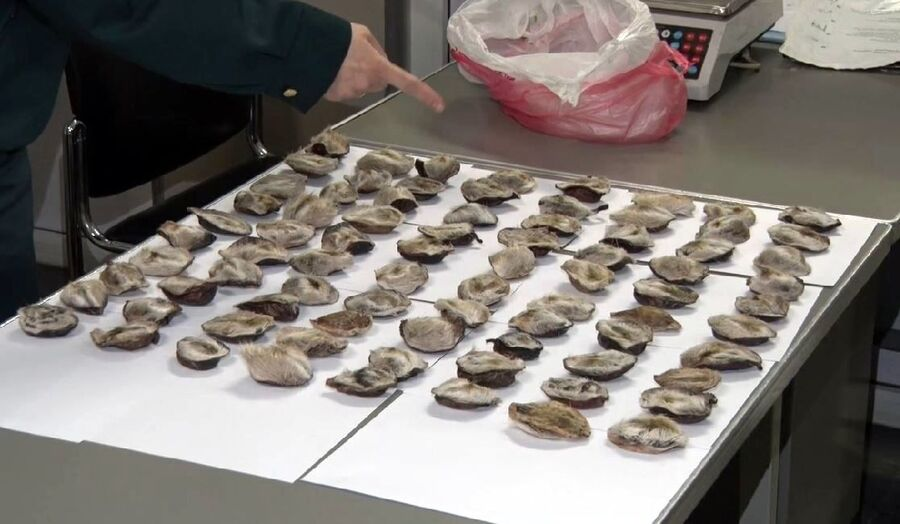 Мускусные железы кабарги, найденные при попытке вывоза в Южную Корею