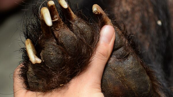 Сотрудник Фонда Животные Азии проверяет лапу медвежонка,  спасенного с желчегонной фермы во Вьетнаме