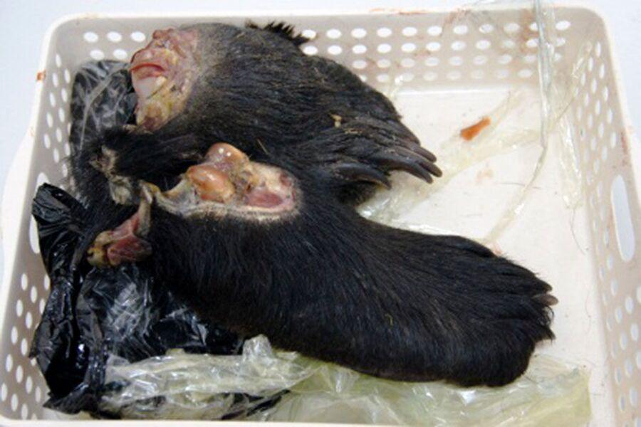 Медвежьи лапы, изъятые при попытке провоза в Китай