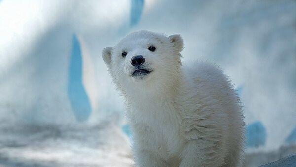 Белый медведь Ростик переехал из новосибирского зоопарка в Китай