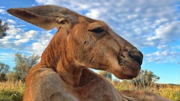 Последняя фотография кенгуру Роджера