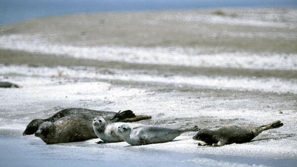 Каспийских тюленей защитят в Дагестане, включив в местную Красную книгу