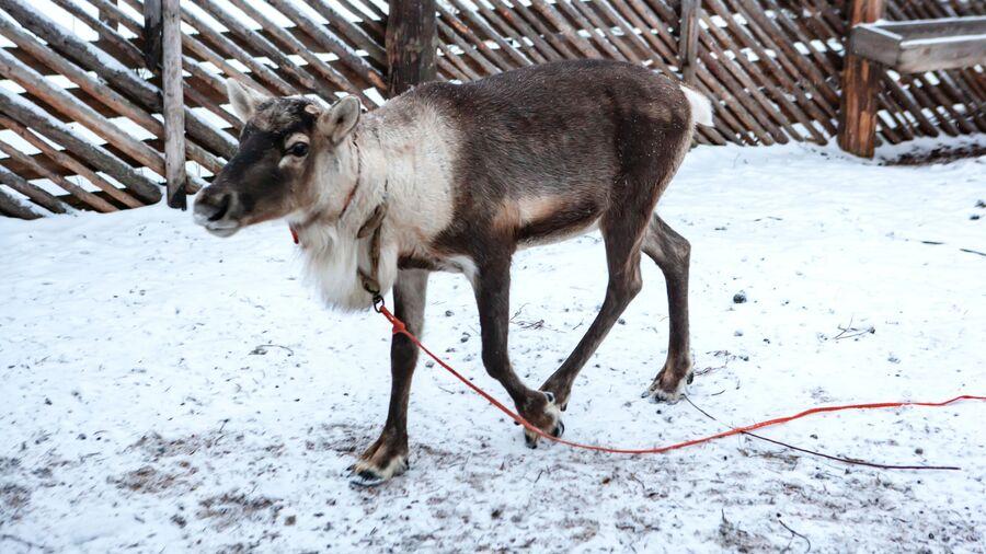 Ферма северных оленей на территории резиденции Карельского Деда Мороза Талви Укко в поселке Чална