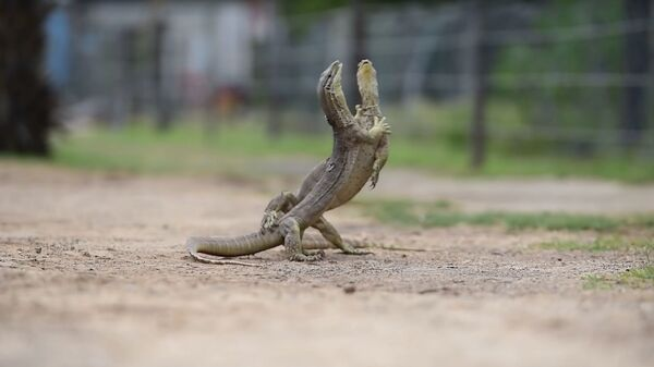 Дерущиеся ящерицы на ферме в Австралии