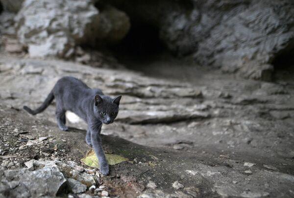 Кошка Ахштырская. Хранительница Ахштырской пещеры – первобытной стоянки пещерного человека